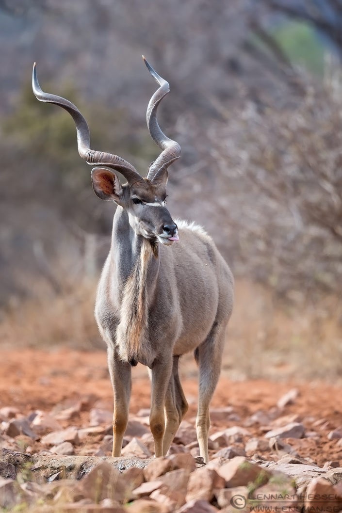 Kudu bull Blouberg South Africa