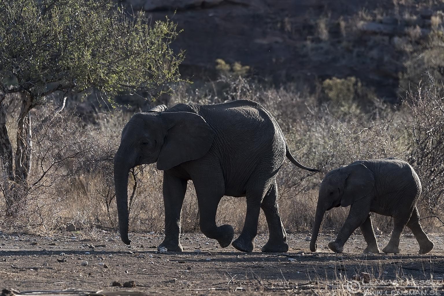 Elephants Mapungubwe South Africa