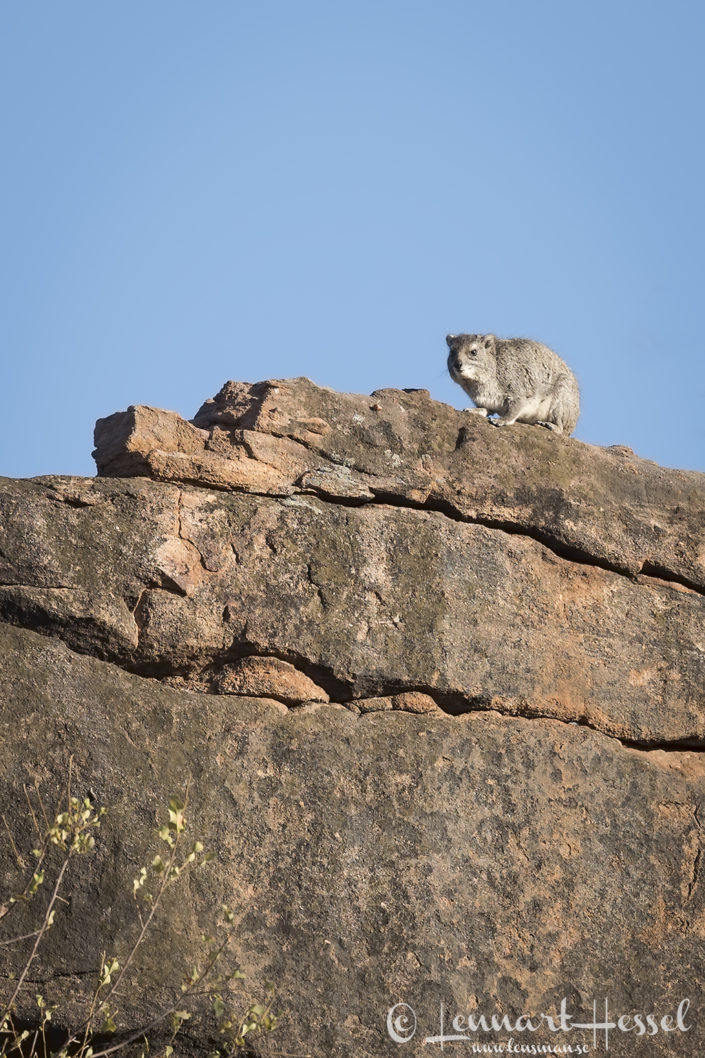 Rock Hyrax Tuli Block Tuli Wilderness