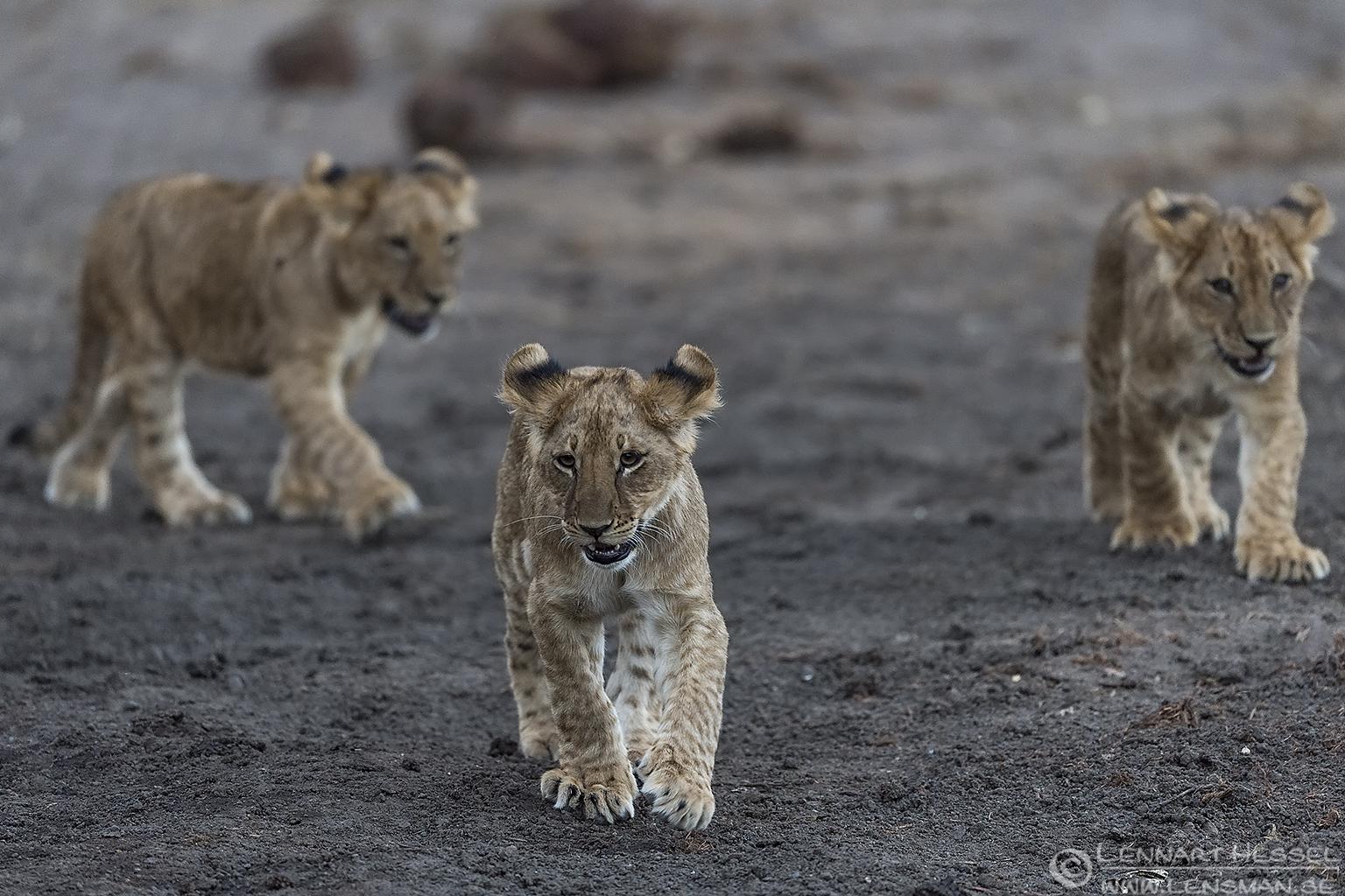 Lion cubs Tuli Block Mashatu Game Reserve