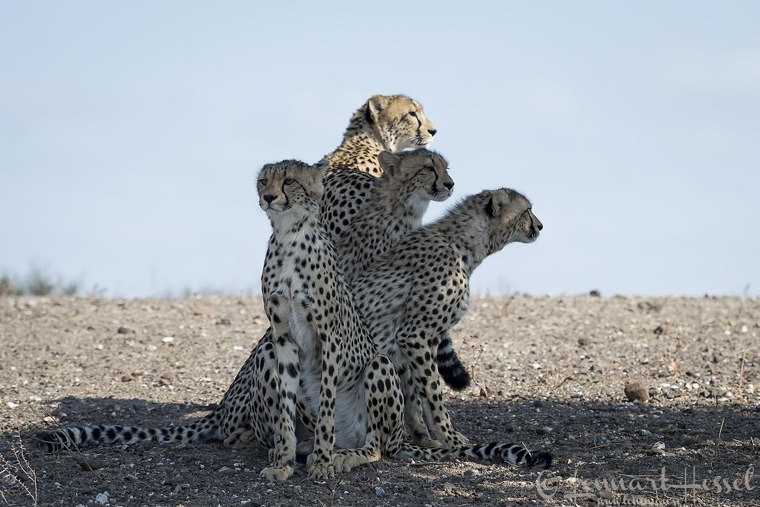 Cheetah family Tuli Block Mashatu Game Reserve