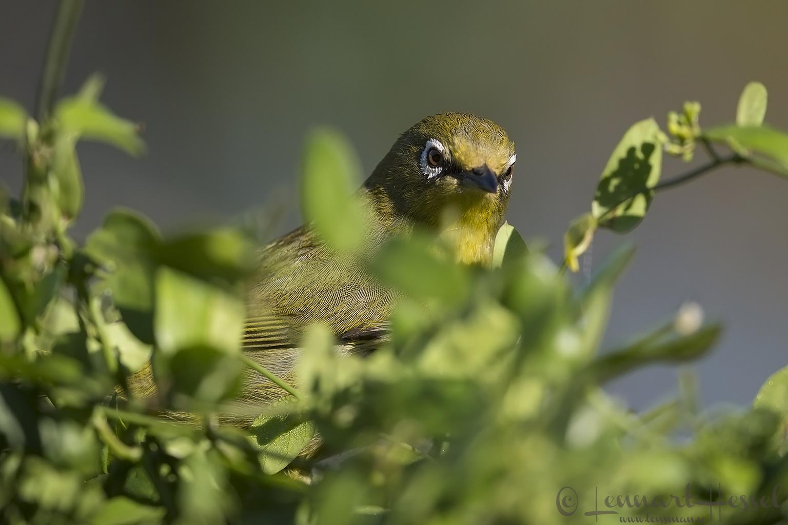 Cape White-eye Magoebaskloof South Africa
