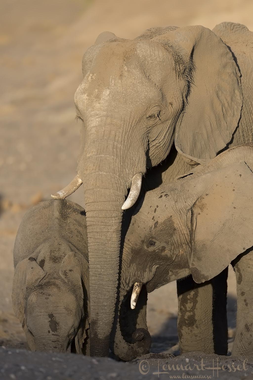 Elephants drinking Tuli Block Mashatu Game Reserve