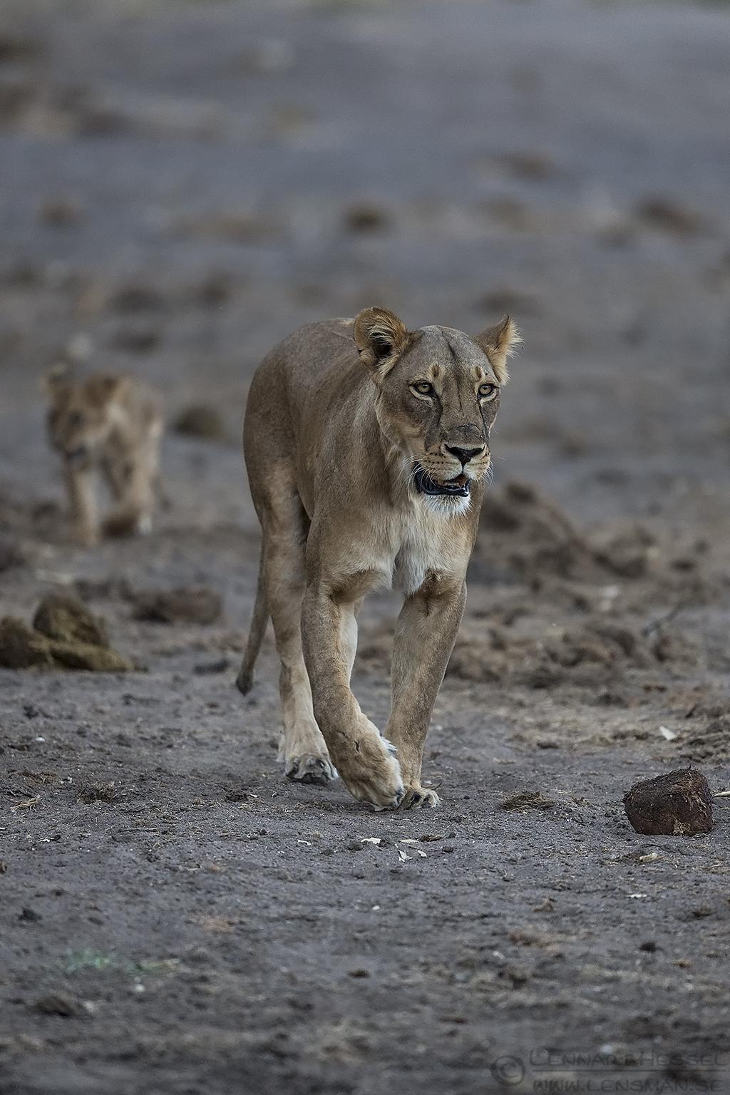 Lioness and cub Tuli Block Mashatu Game Reserve