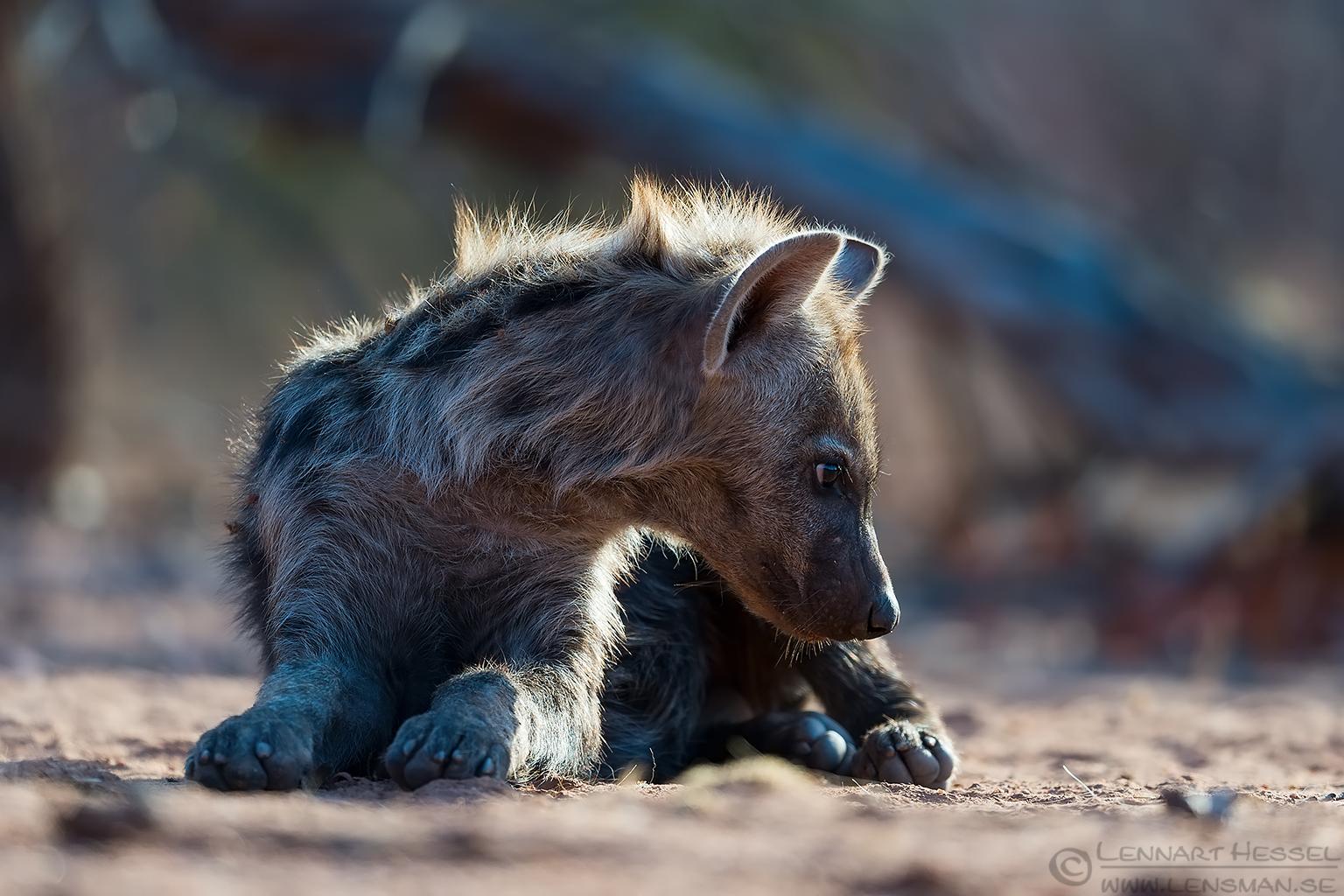 Spotted Hyena pup Tuli Block Tuli Wilderness