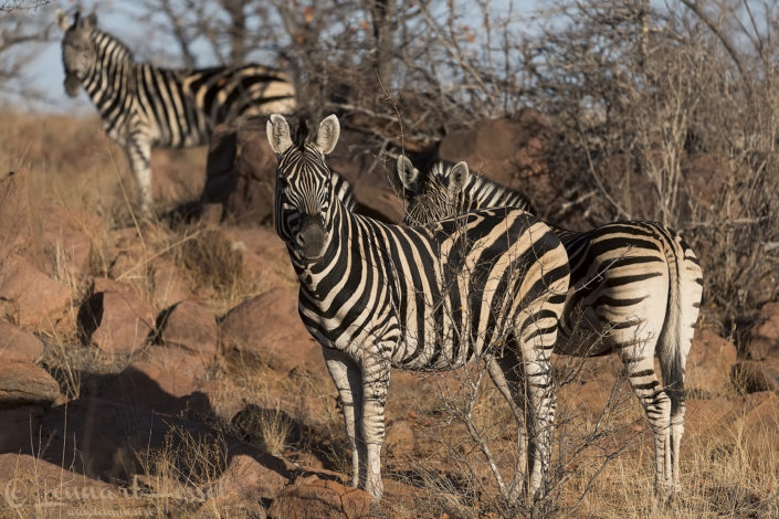 Zebras Tuli Block Tuli Wilderness