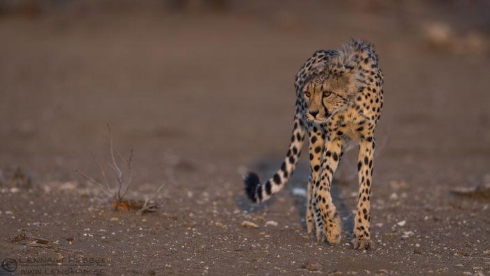 Cheetah Botswana Tuli Block Mashatu Game Reserve