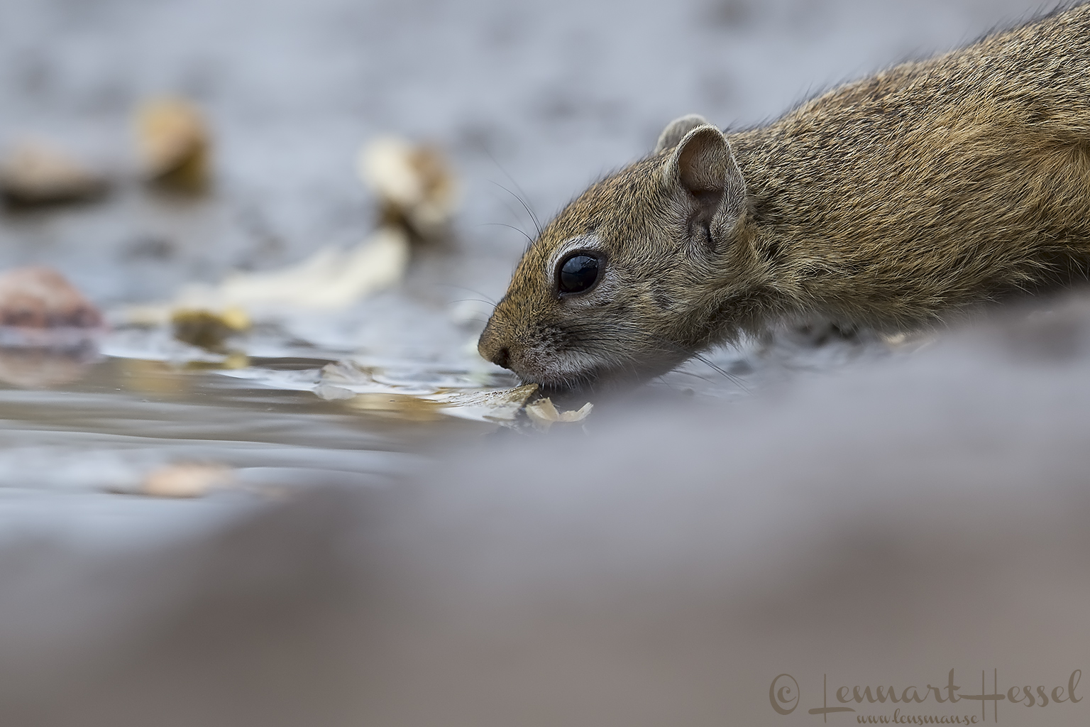 Smith's bush squirrel Tuli Block Mashatu Game Reserve