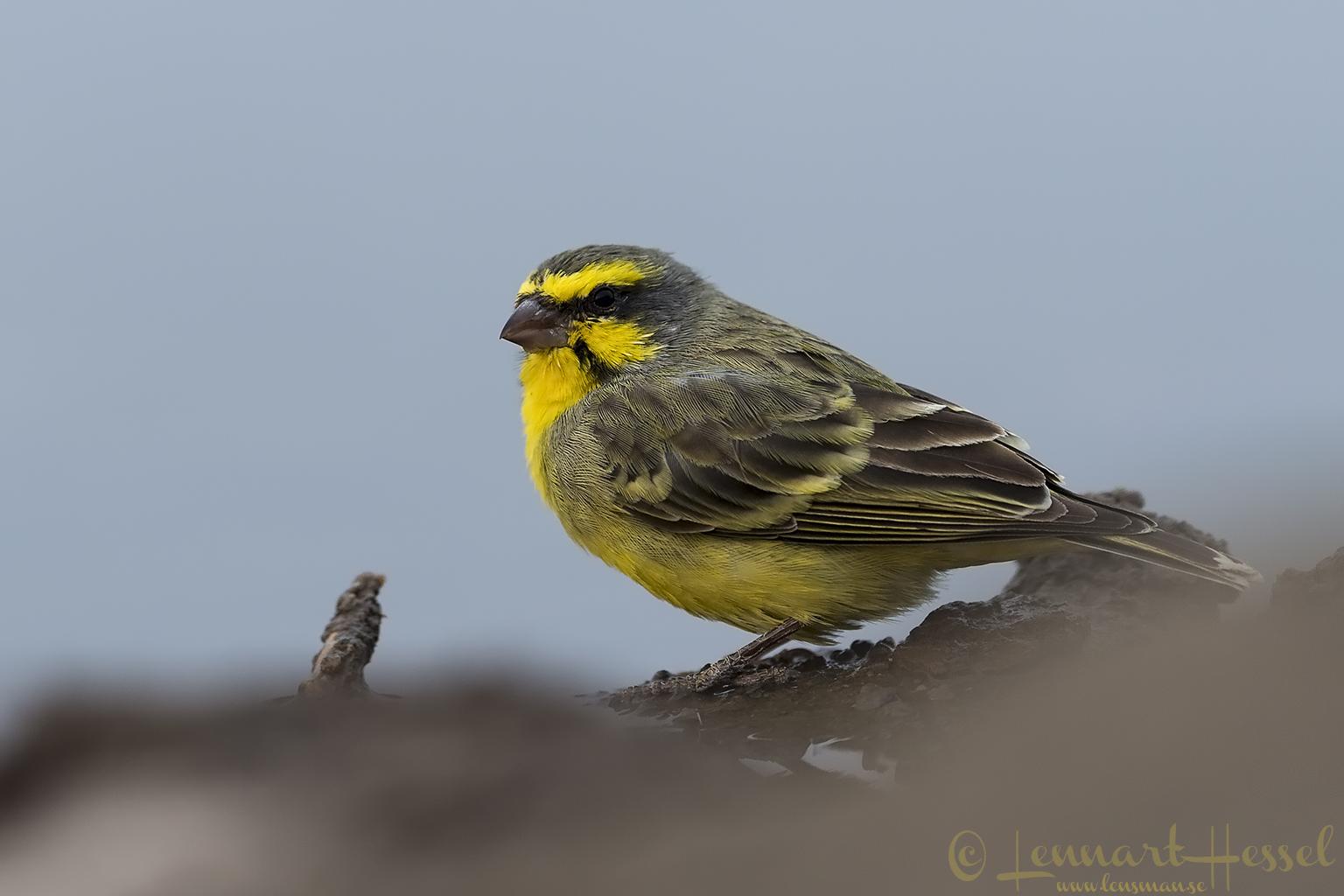 Yellow-fronted Canary Tuli Block Mashatu Game Reserve