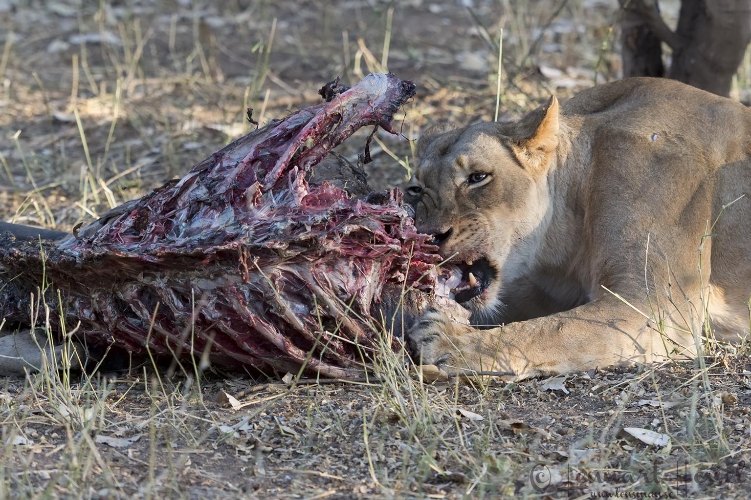 Lioness chewing Tuli Block Mashatu Game Reserve