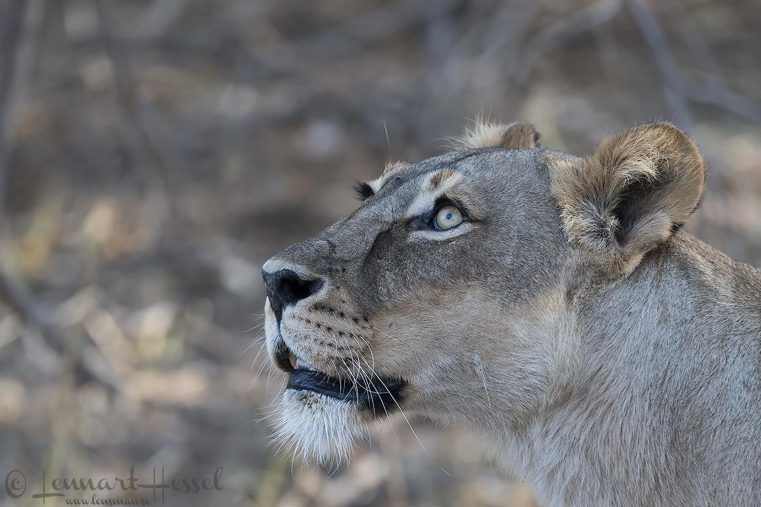 Lioness looking up Tuli Block Mashatu Game Reserve
