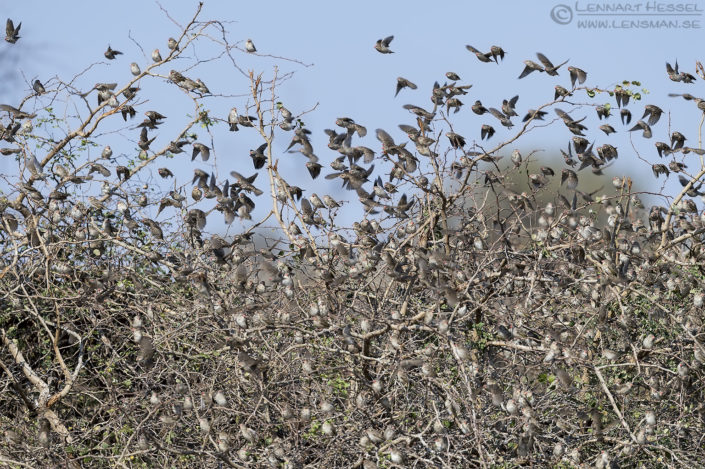 Red-billed Quelas Tuli Block Mashatu Game Reserve