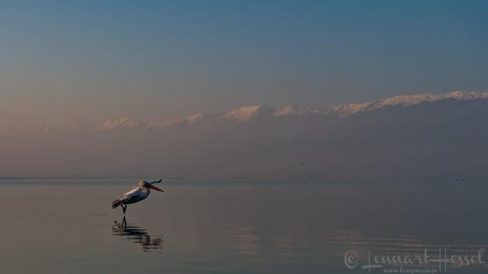 Dalmatian Pelican Greece Lake Kerkini
