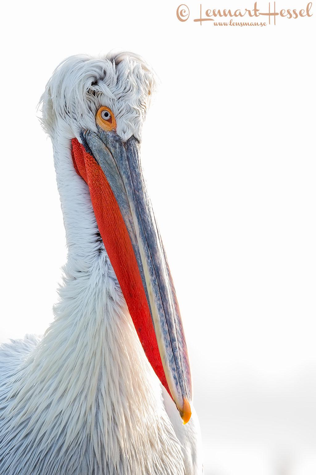 Dalmatian Pelican high key Greece Lake Kerkini