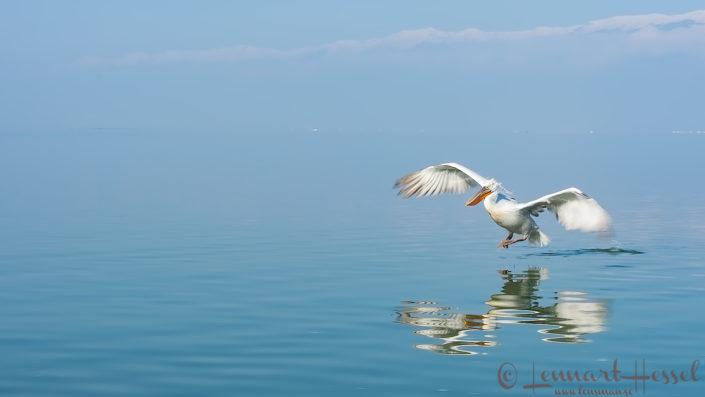 Dalmatian Pelican landing Greece Lake Kerkini