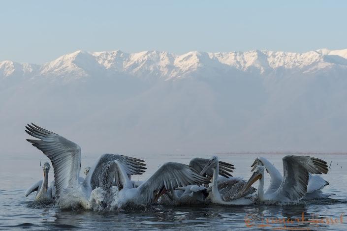 Dalmatian Pelicans Greece Lake Kerkini
