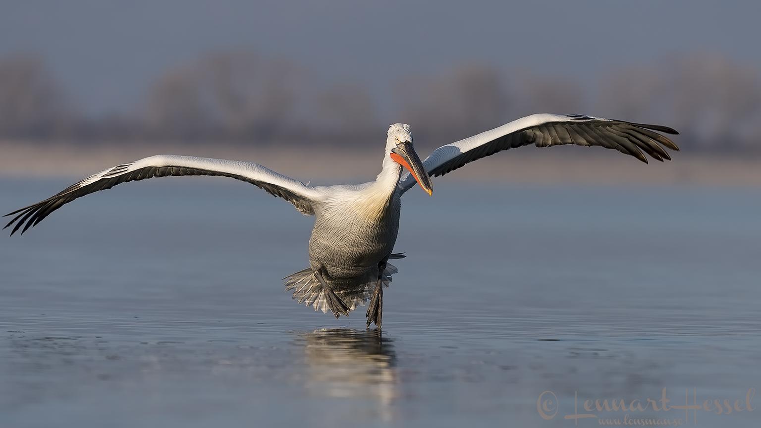 Landing Dalmatian Pelican Greece Lake Kerkini