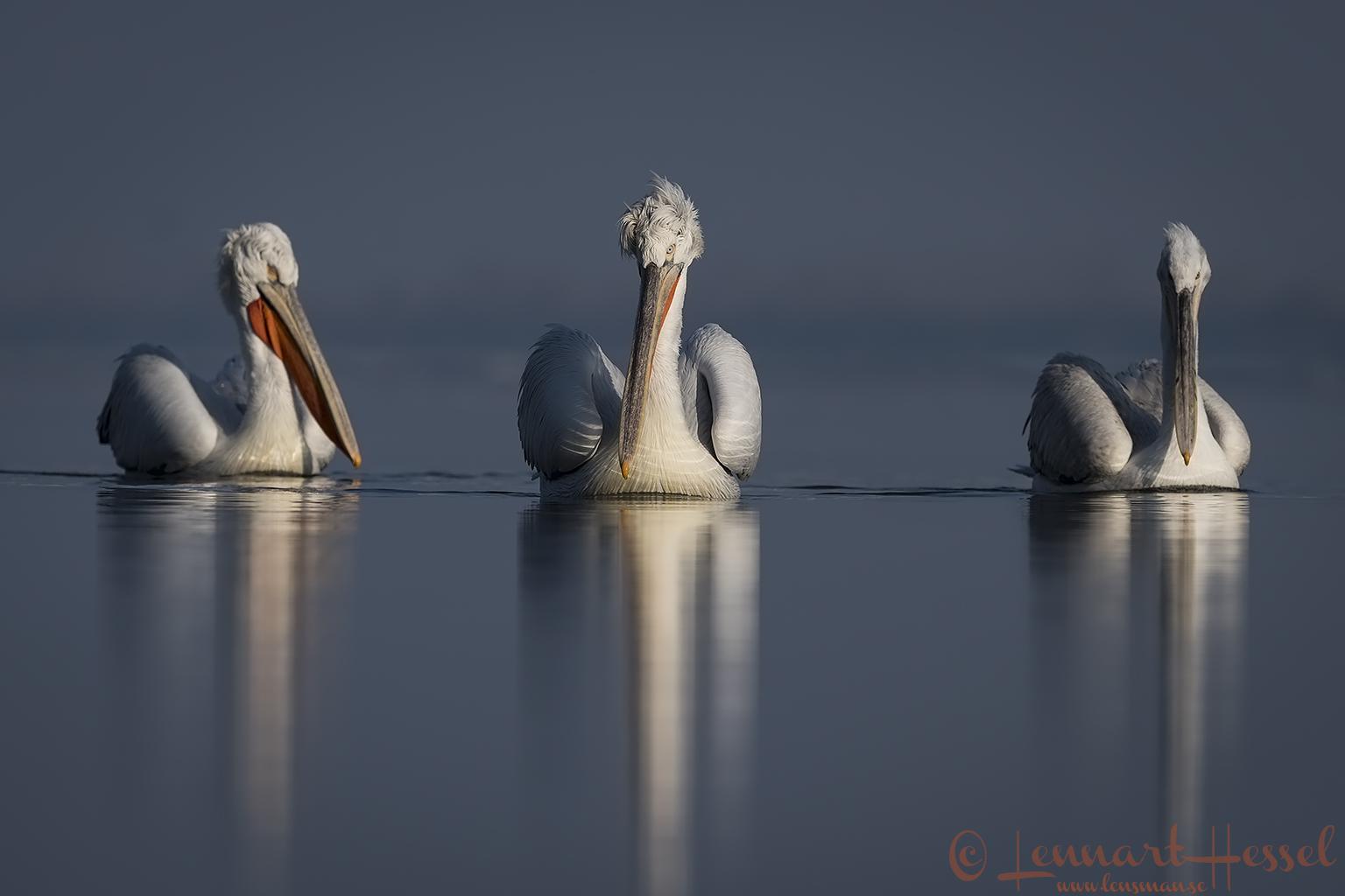 Dalmatian Pelican trio Greece Lake Kerkini