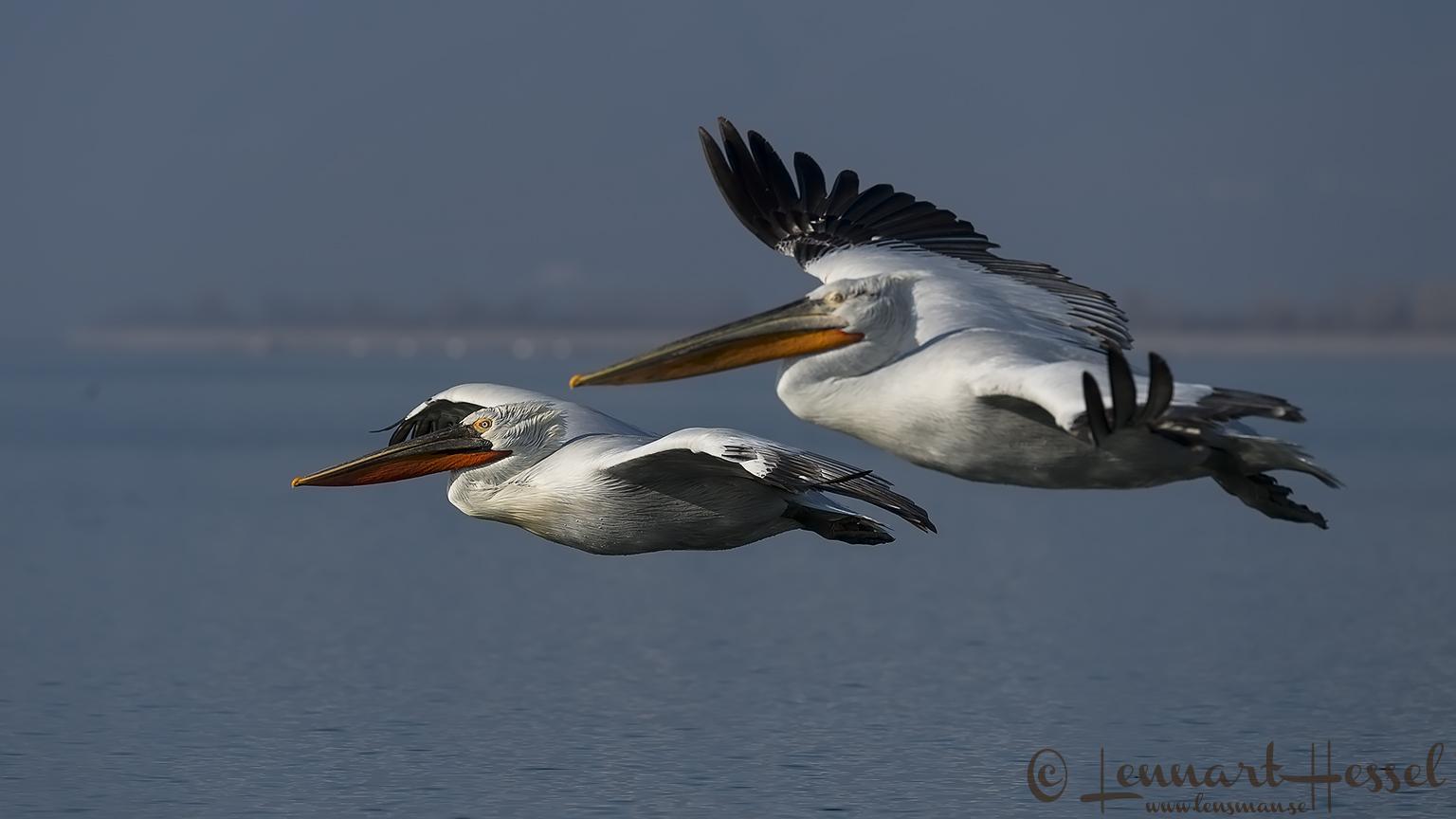 Dalmatian Pelican duo flying Greece Lake Kerkini