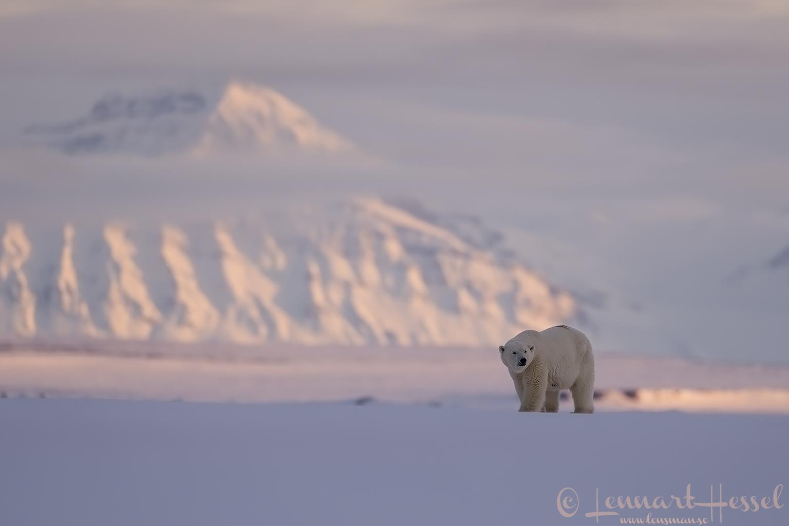 Polar bears Svalbard Arctic