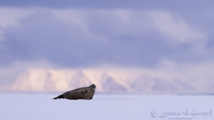 Polar bears Svalbard Arctic Ringed seal