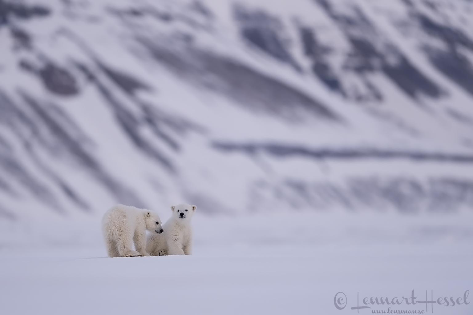 Polar bear cubs Arctic Svalbard