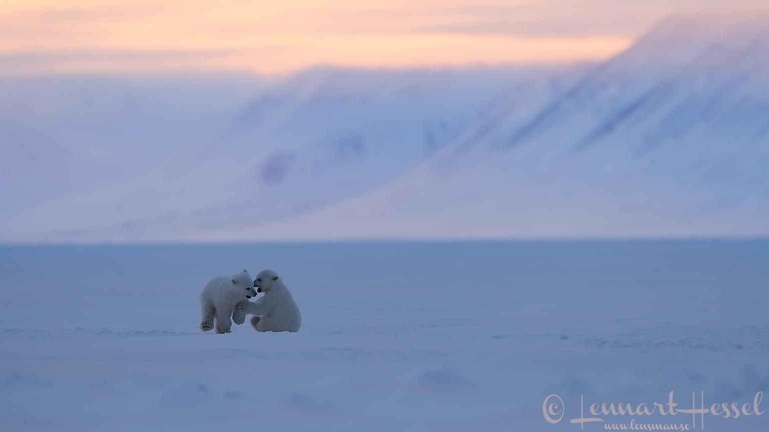 Polar bear cubs playing Arctic Svalbard