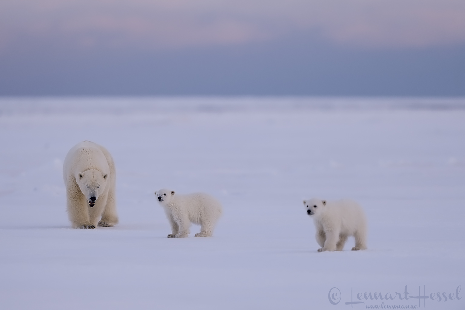 Polar bear family Arctic Svalbard