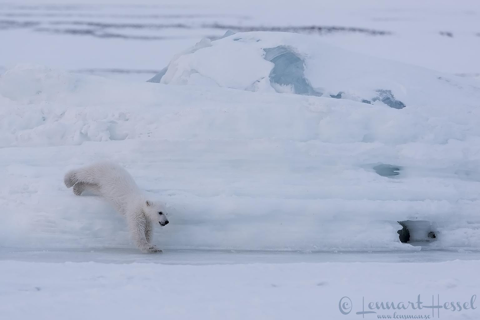 Polar bear cub jumping Arctic Svalbard