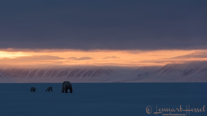 Polar bear family Arctic Svalbard
