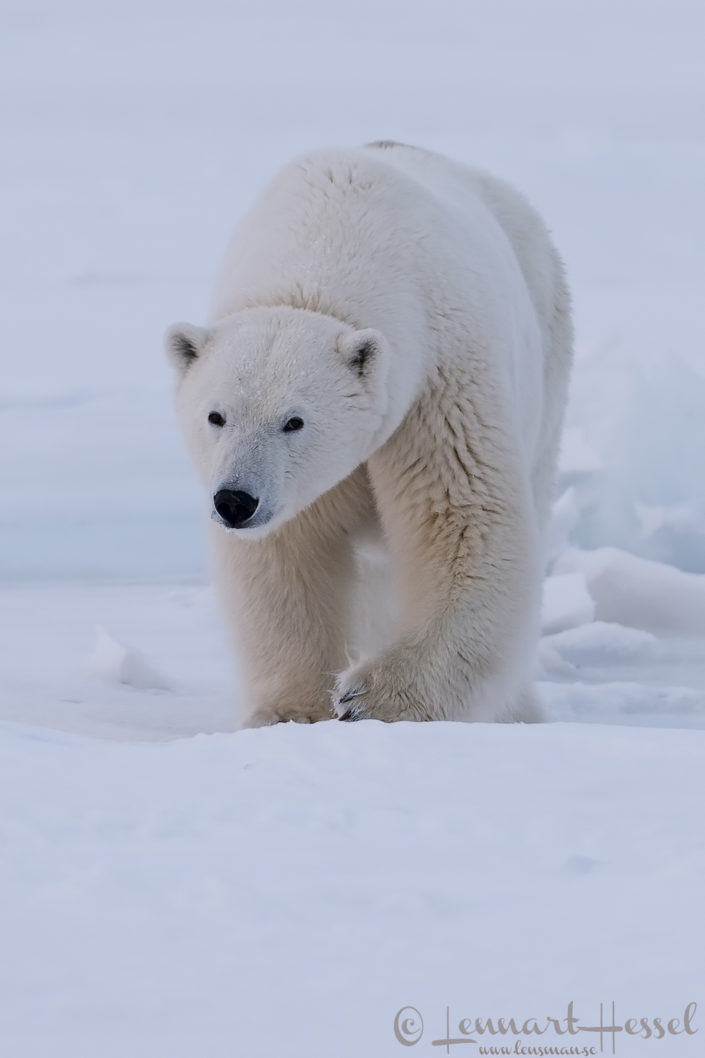 Polar bear female Arctic Svalbard