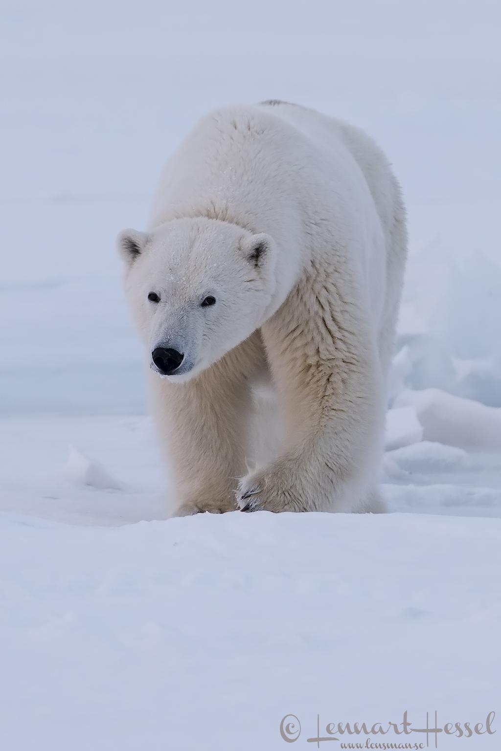 Polar bear female Arctic Svalbard