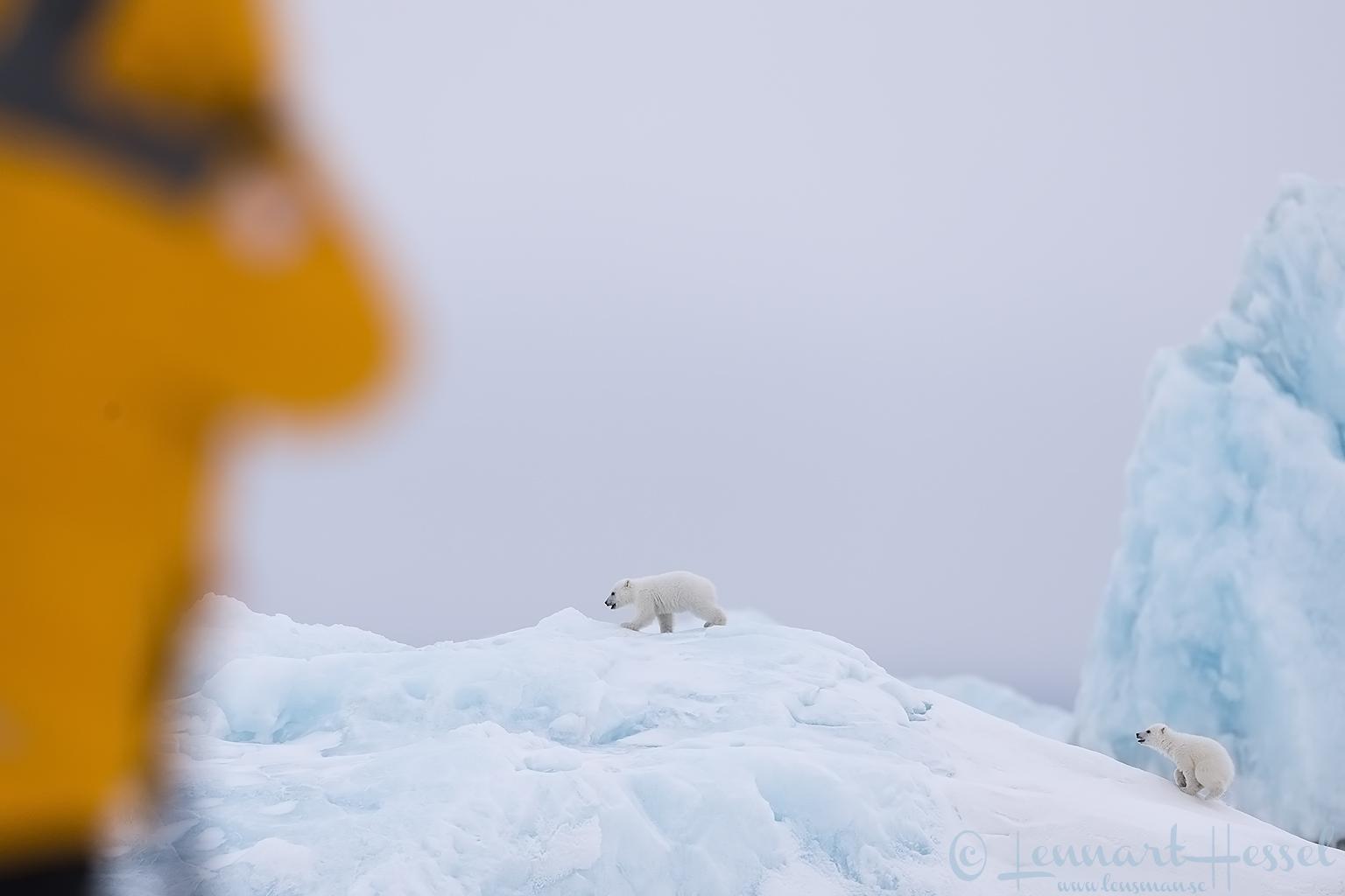 Polar bear cubs and Mr Bumblebee Arctic Svalbard