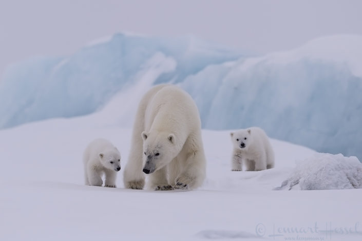 Polar bear family walking Arctic Svalbard