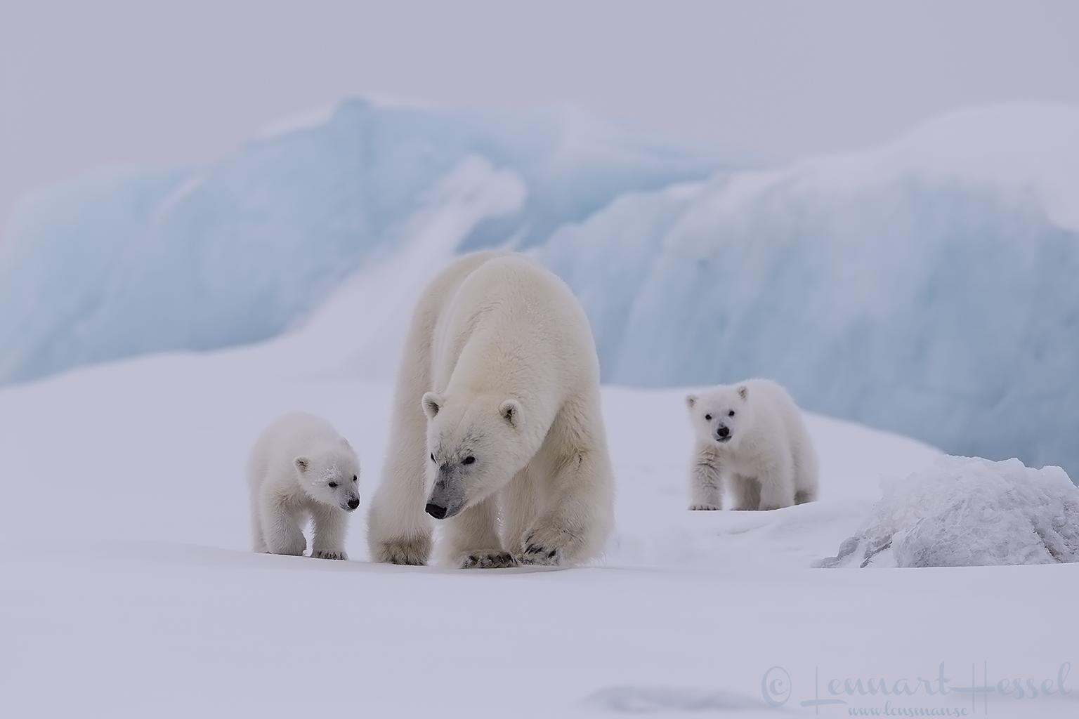 Polar bear family walking Arctic Svalbard