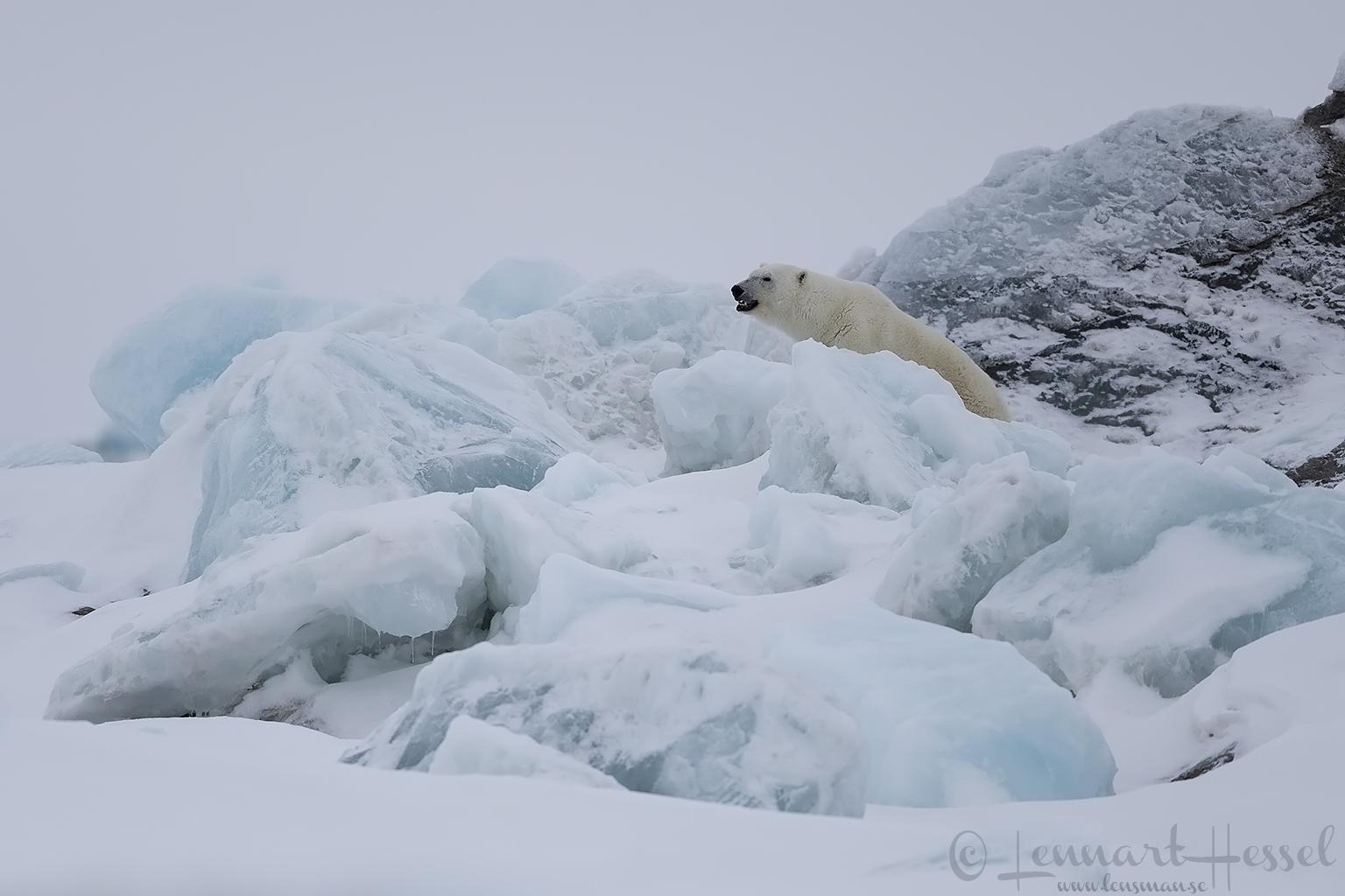 Polar bear female in habitat Arctic Svalbard