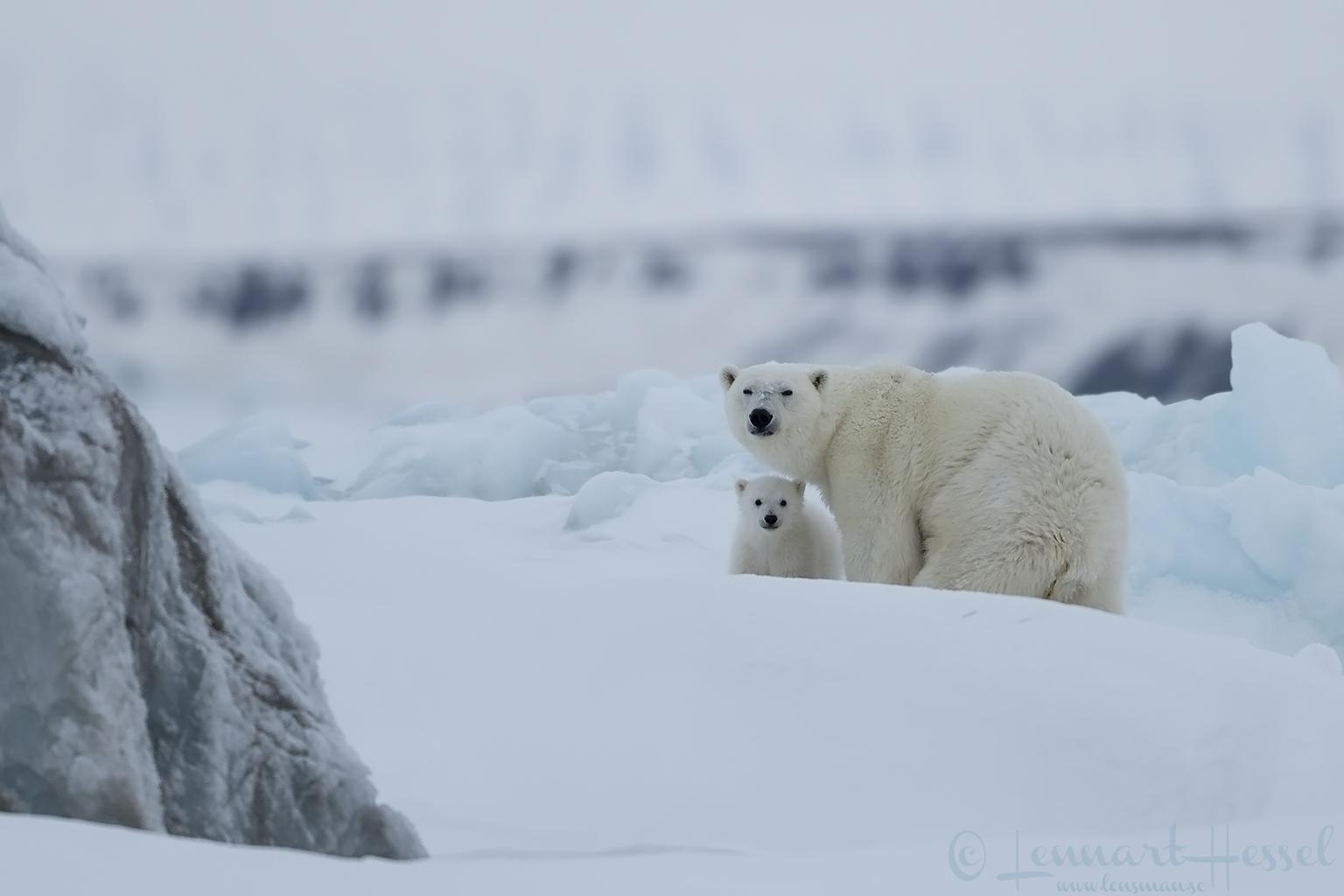 Polar bear cub with mum Arctic Svalbard