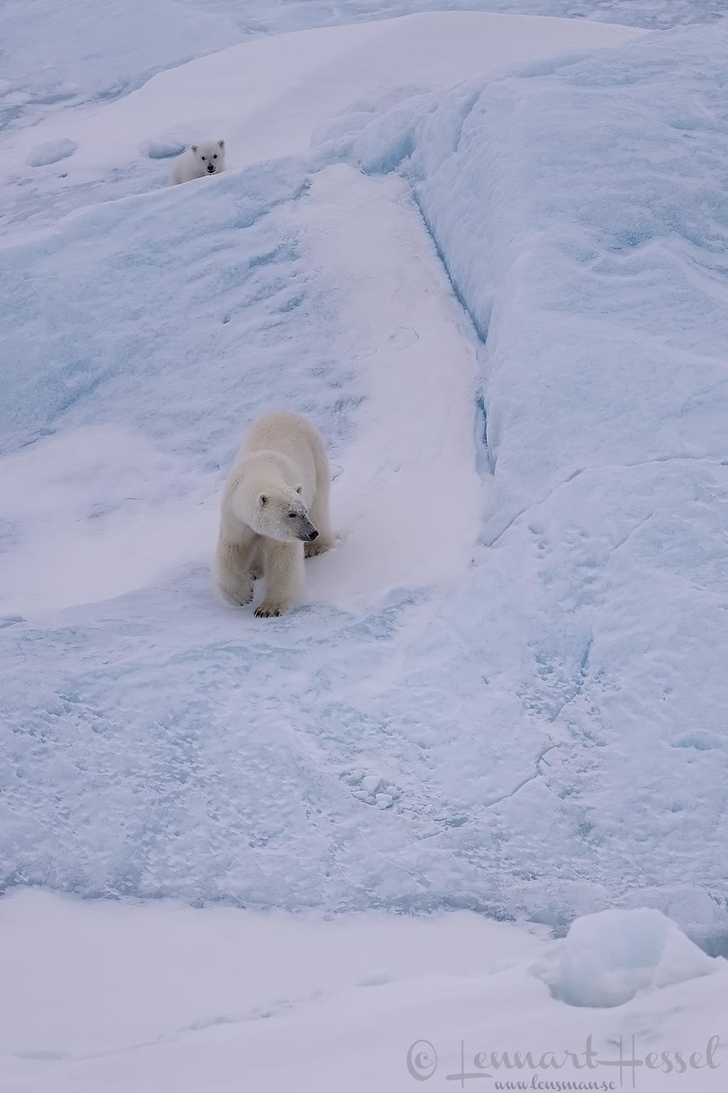 Polar bear mum and cub Arctic Svalbard