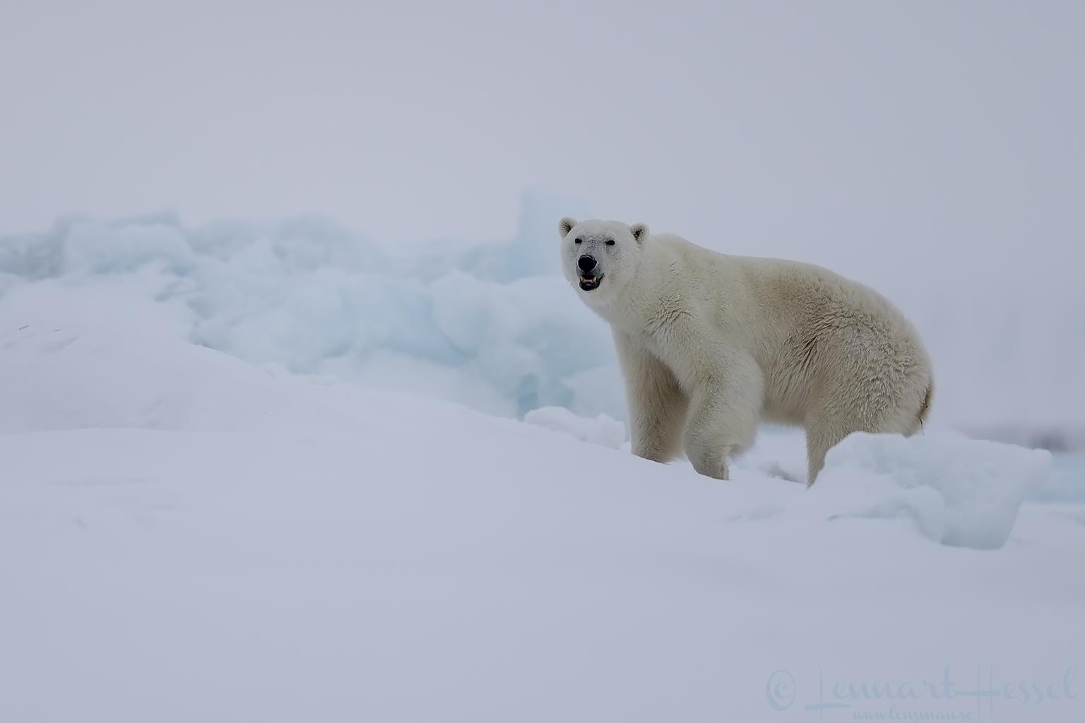 Polar bear mum Actic Svalbard