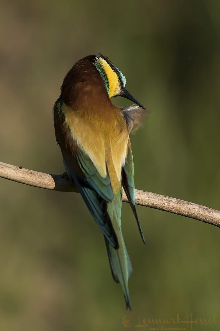 European Bee-eater preening Hungary