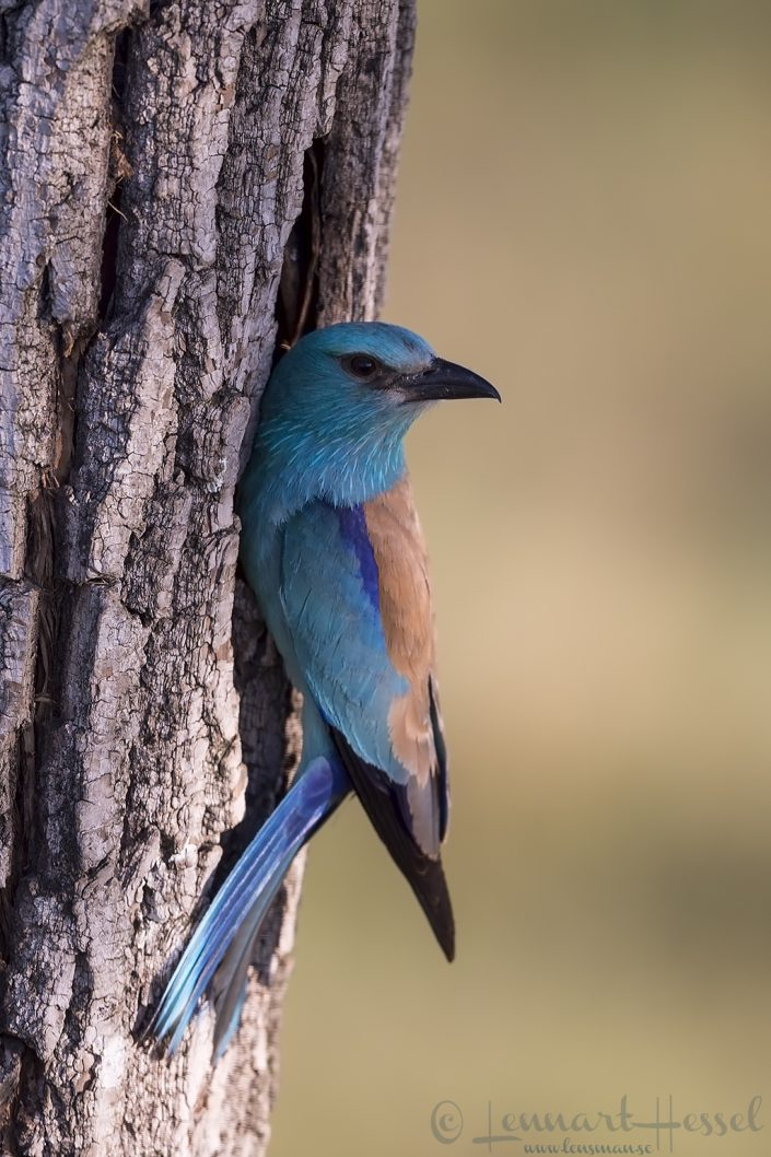 European Roller at nest Hungary Bee-eater