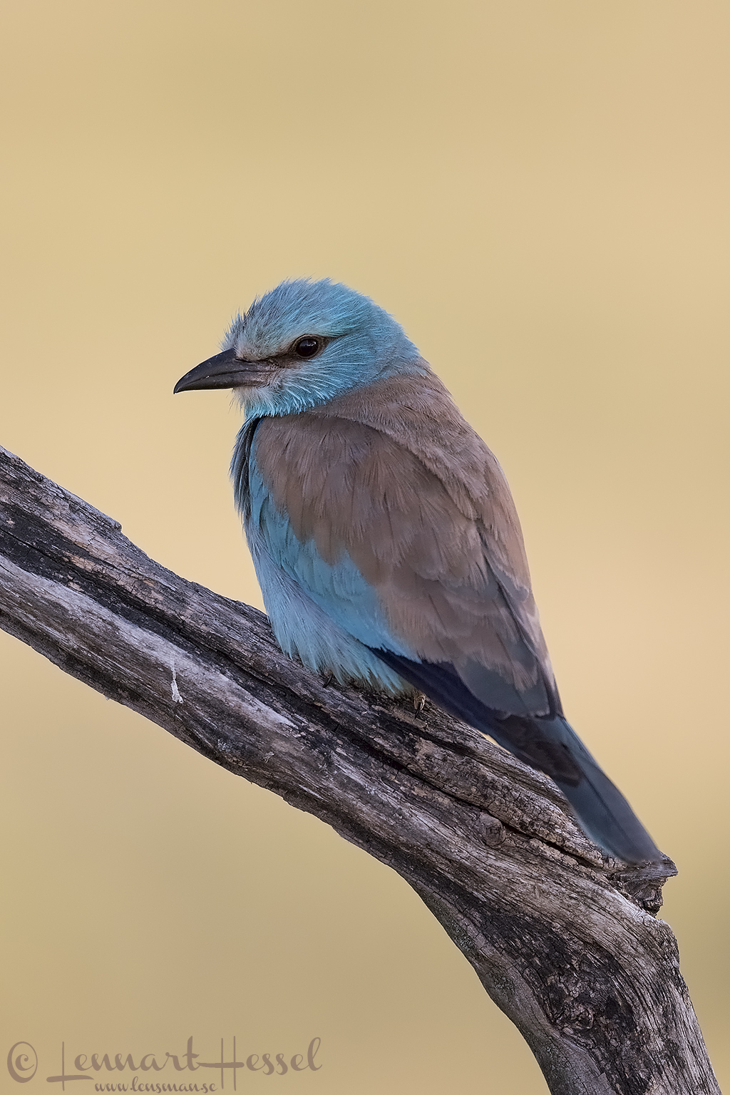 European Roller Hungary Bee-eater