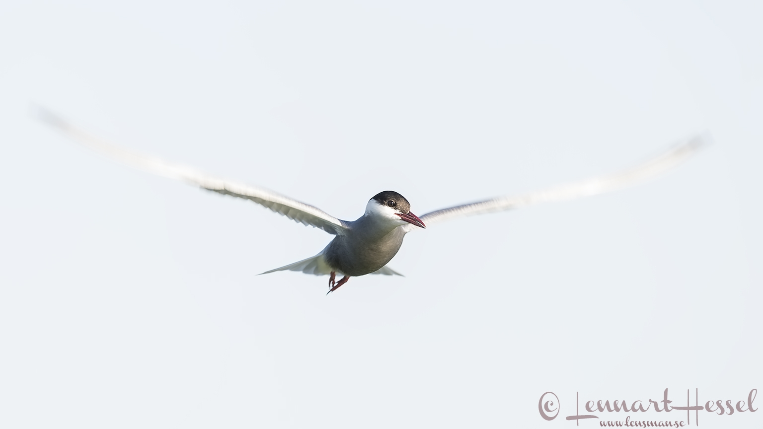 Whiskered Tern high key Hungary Bee-eater