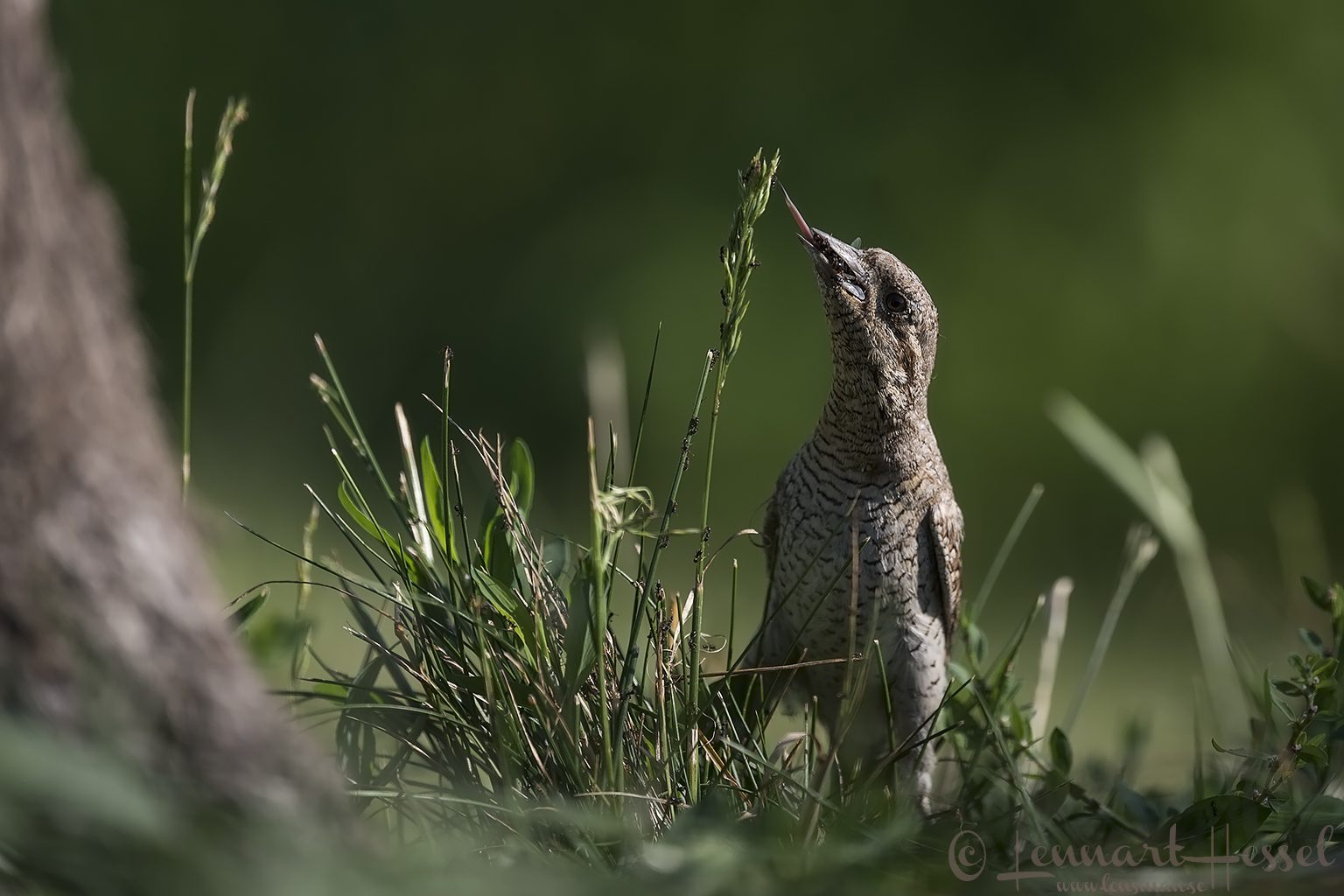 Wryneck catching food Hungary Bee-eater