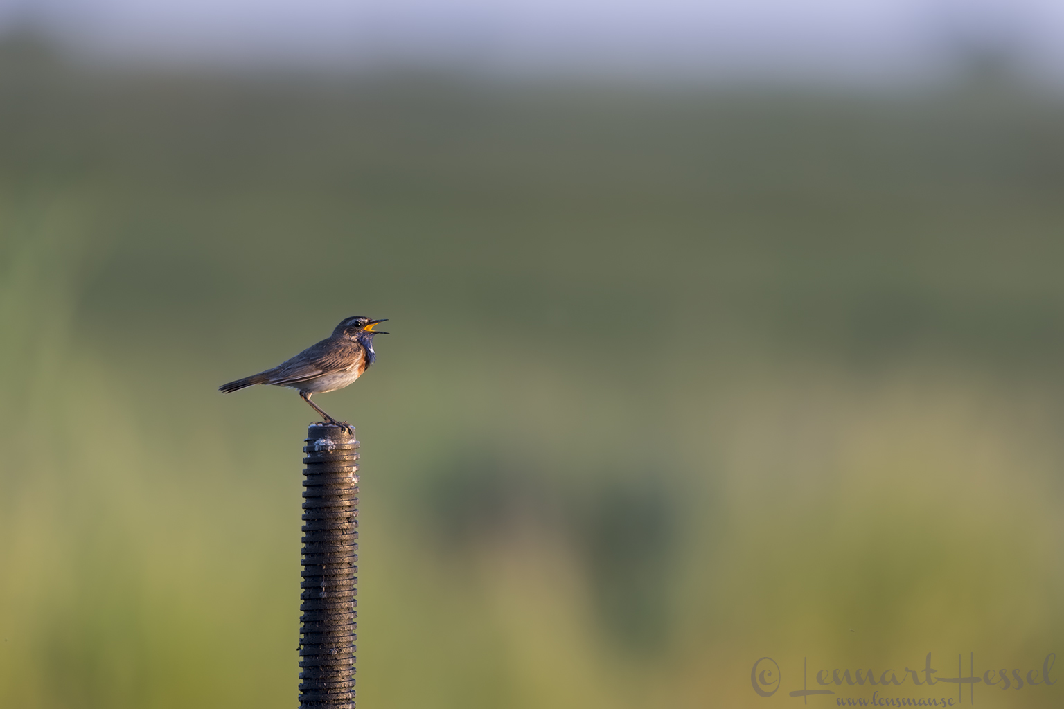 Bluethroat Hungary Bee-eater