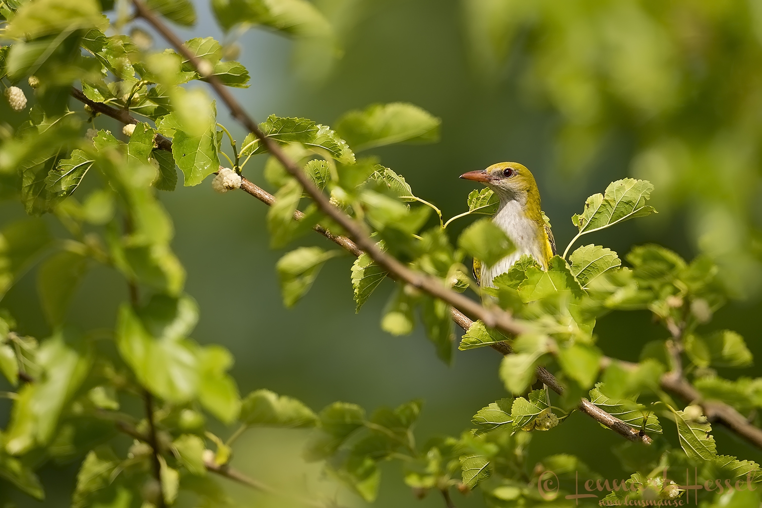 Golden Oriole female Hungary Bee-eater