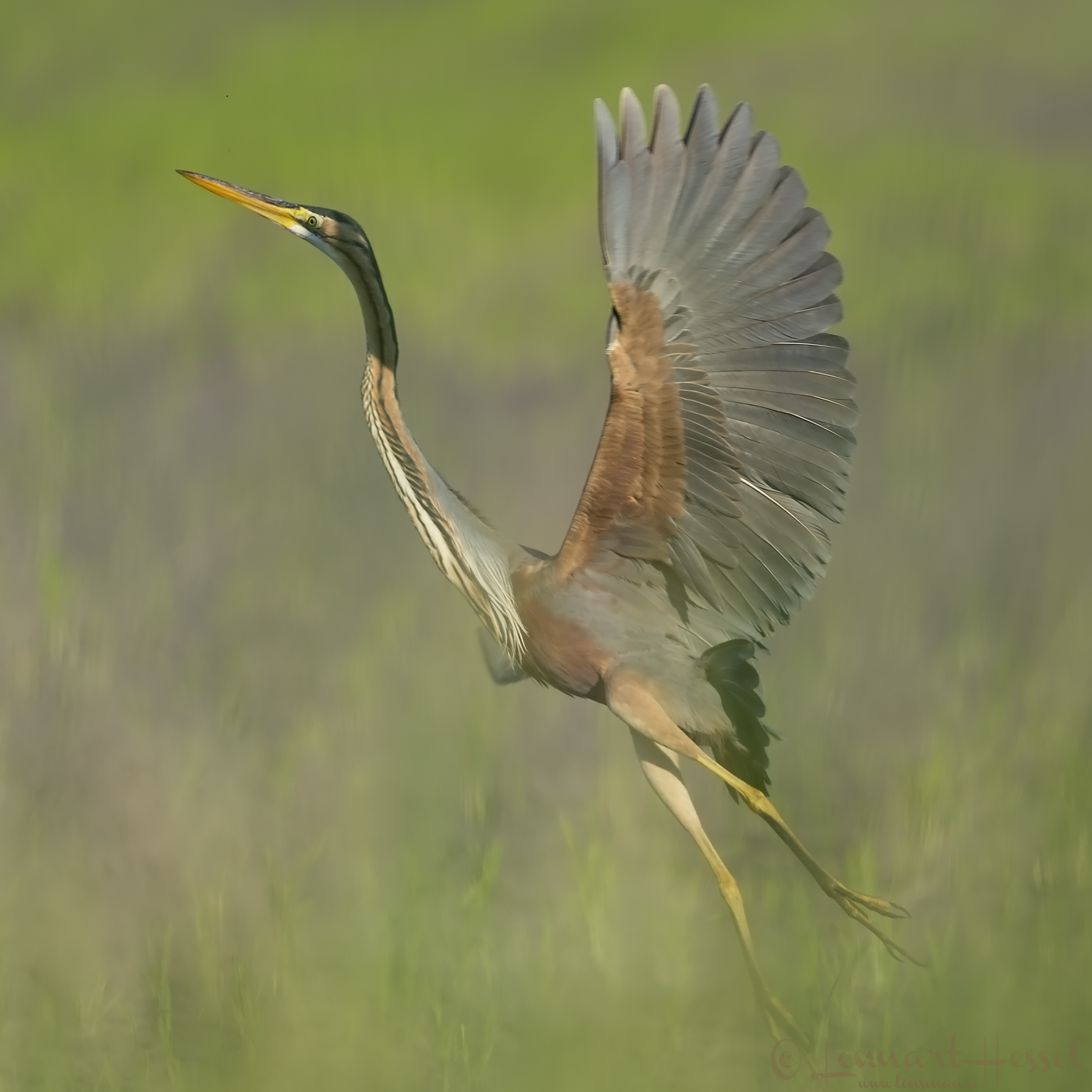 Purple Heron Hungary Bee-eater