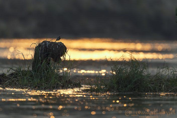 African Pied Wagtail Zambezi river