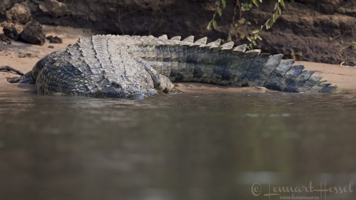 Nile Crocodile going into the Zambezi river