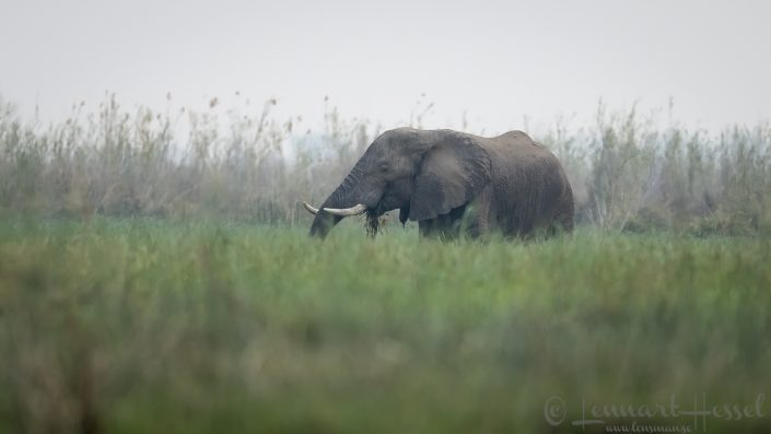 Elephant eating Zambezi river